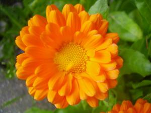 fleur de calendula du dentifrice pour enfants et dents de lait weleda !